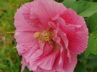 盛开的鲜艳芙蓉花