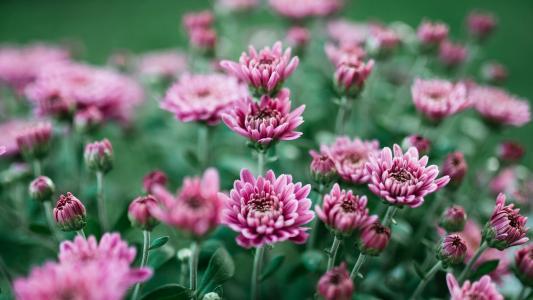 粉嫩的菊花盛开