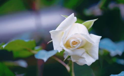 娇嫩迷人的月季花