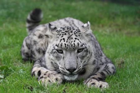 白色的豹壁纸