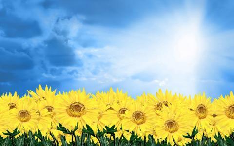 非常漂亮的向日葵