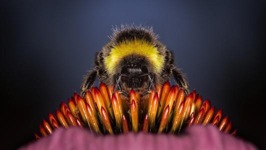 蜜蜂关闭了高清壁纸