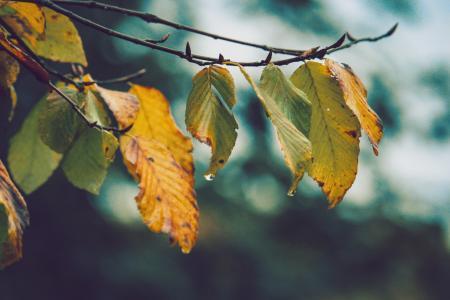 秋天早晨的泛黄树叶