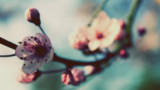树开花高清壁纸