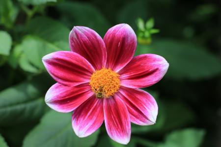 鲜艳无比的大丽花