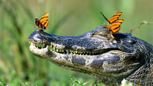 鳄鱼与蝴蝶高清壁纸