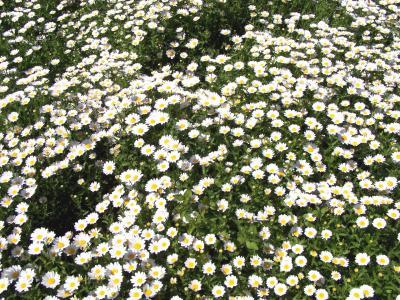 白色的花朵壁纸