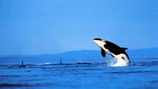 虎鲸跳出水高清壁纸