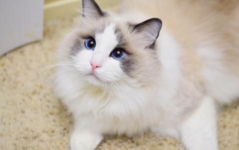 可爱的白色布偶猫