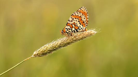 蝴蝶高清壁纸