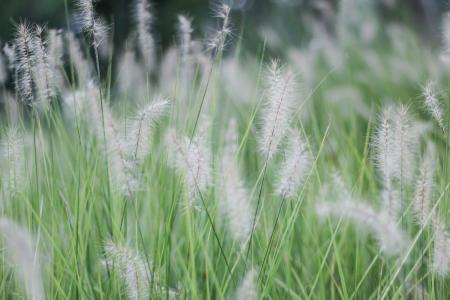 清新优美的白茅草