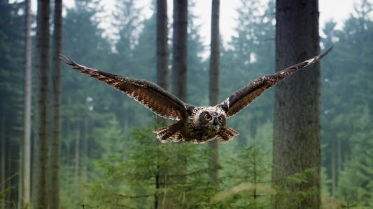 飞行猫头鹰高清壁纸