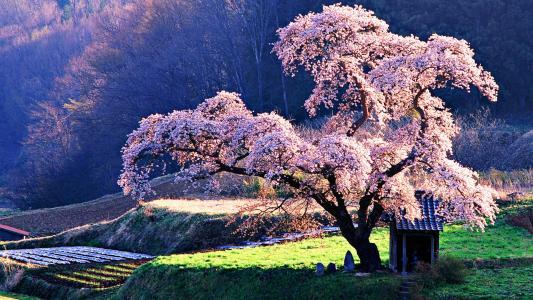 樱花高清壁纸