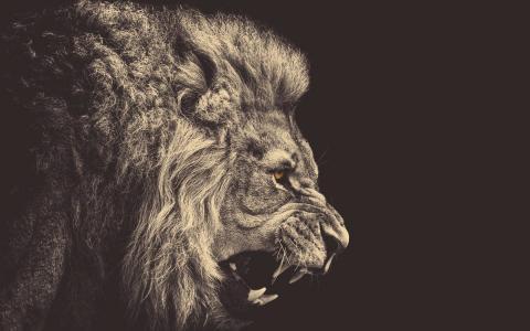 愤怒的狮子壁纸