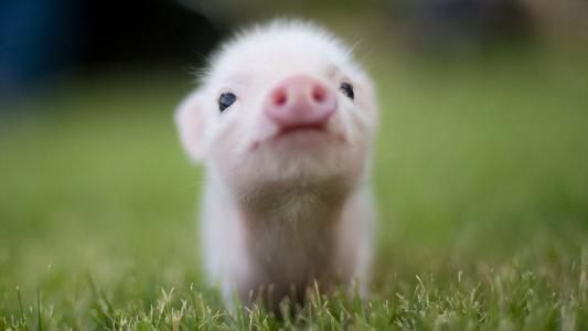 小猪高清壁纸