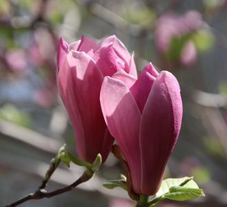 含苞待放的玉兰花