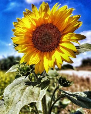 灿烂盛开的向日葵