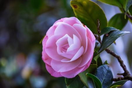 粉嫩迷人的茶花