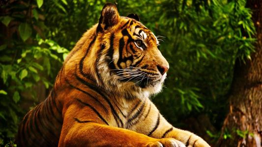 老虎高清壁纸