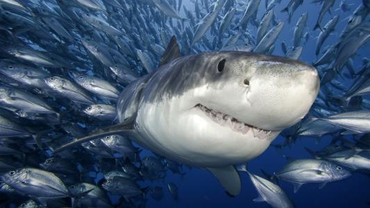 鲨鱼高清壁纸