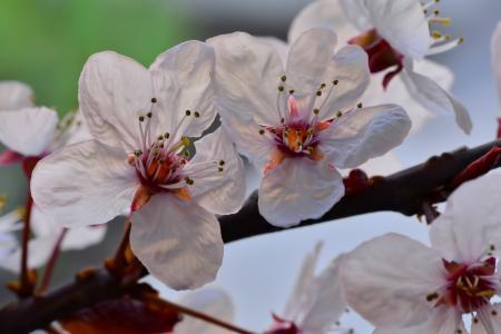 迷人的樱花花瓣