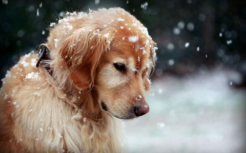 在雪墙纸的狗