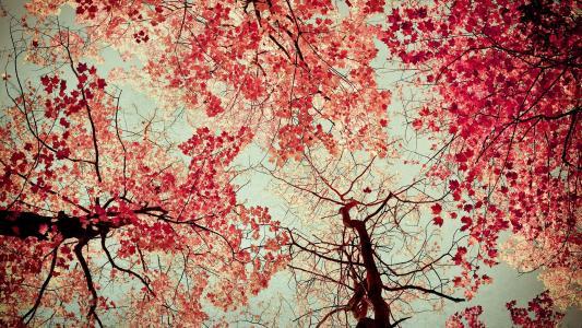红色的树叶高清壁纸