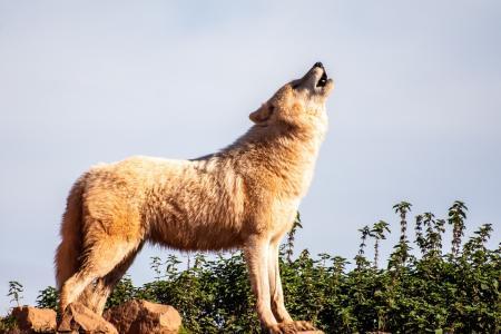孤独的野狼