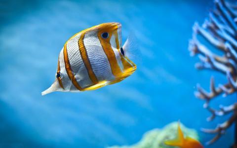 黄色白色鱼壁纸