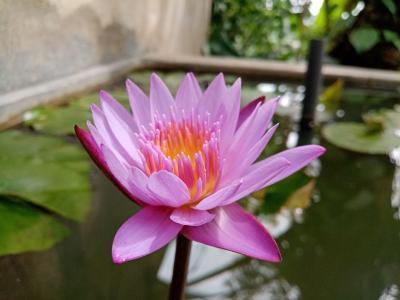 优雅迷人的莲花