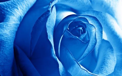 蓝色玫瑰特写壁纸