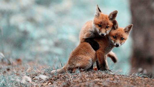 可爱的小狐狸壁纸