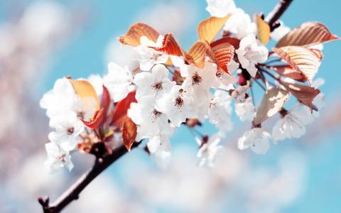白色樱花盛开的壁纸