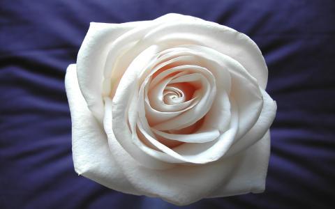 白玫瑰壁纸