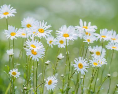 清新优美的菊花
