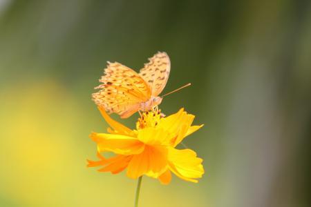 黄色的蝴蝶壁纸