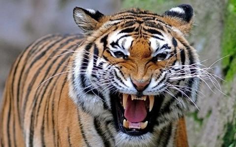 生气的老虎壁纸