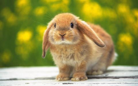 兔子兔子壁纸