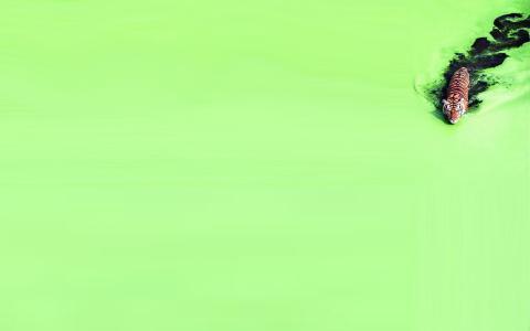 老虎和绿水壁纸