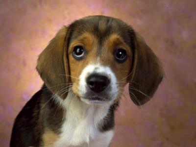可爱的小狗壁纸