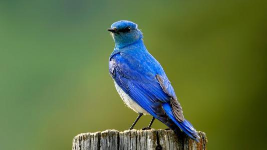 蓝鸟高清壁纸