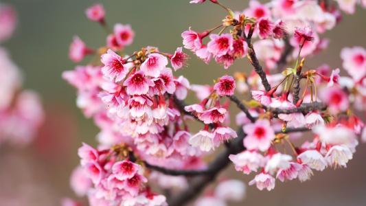 开满枝头的樱桃花