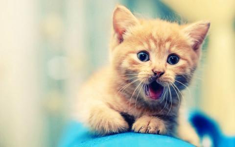 小小的橙色小猫壁纸