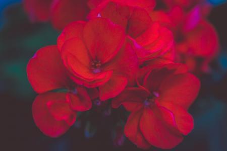 盛开的天竺葵