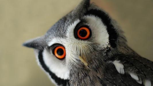 猫头鹰与大橙色的眼睛高清壁纸