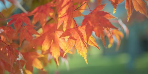 唯美迷人的秋季枫叶