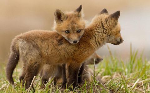 小狐狸壁纸