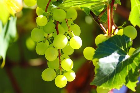 酸甜可口的绿葡萄