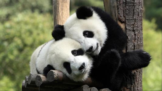 熊猫高清壁纸