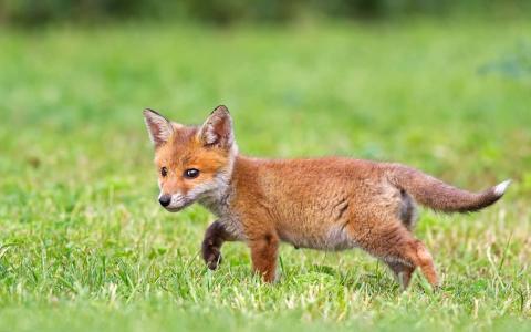 宝贝狐狸壁纸